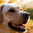 dog, golden retreiver, dog outside in evening sun, golden retreiver outside in evening sun